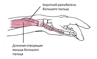 Ход мышц и их сухожилий