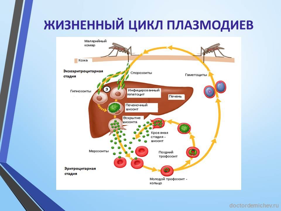 Жизненный цикл плазмодиев